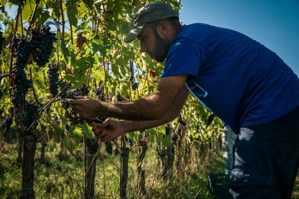 Viticcio-harvest-2016-1