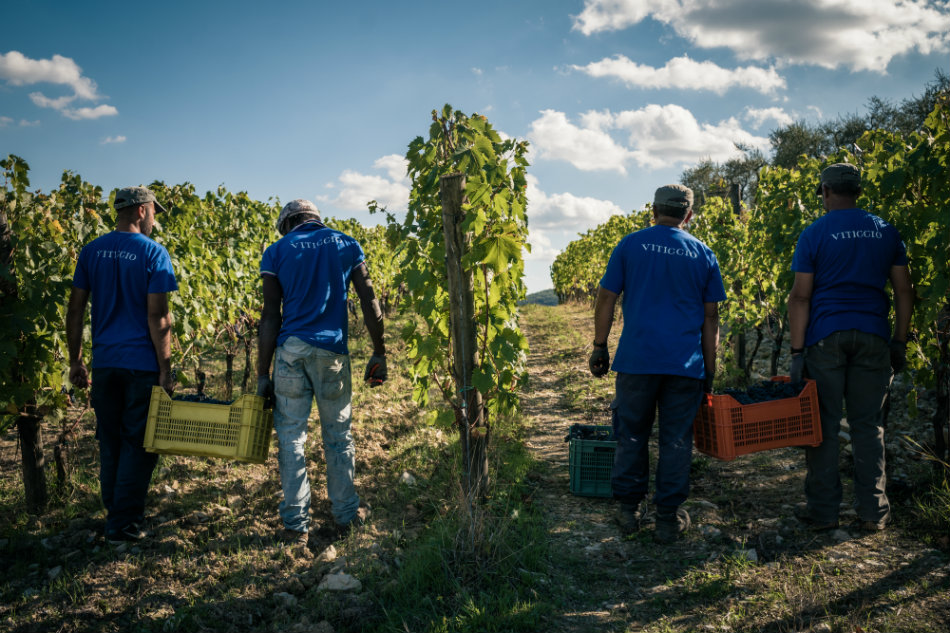 Viticcio-harvest-2016-2