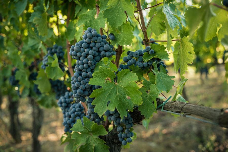organic-grapes-viticcio