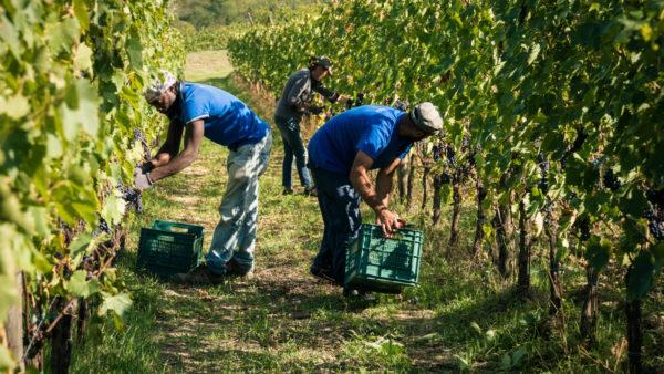 viticcio-harvest-2016